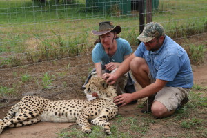 Scratching the chin of a purring cheetah.